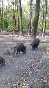 Boars zoo